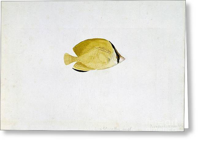Reef Fish Greeting Cards - Citron Butterflyfish, 18th Century Greeting Card by Natural History Museum, London