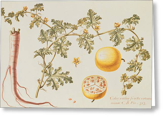 Blossoming Greeting Cards - Citrullus Colocynthius Greeting Card by Claude Aubriet