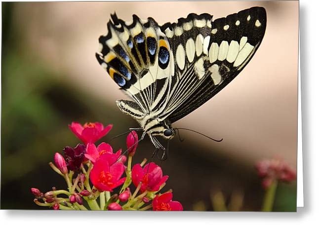 Citrus Swallowtail  Greeting Card by Saija  Lehtonen