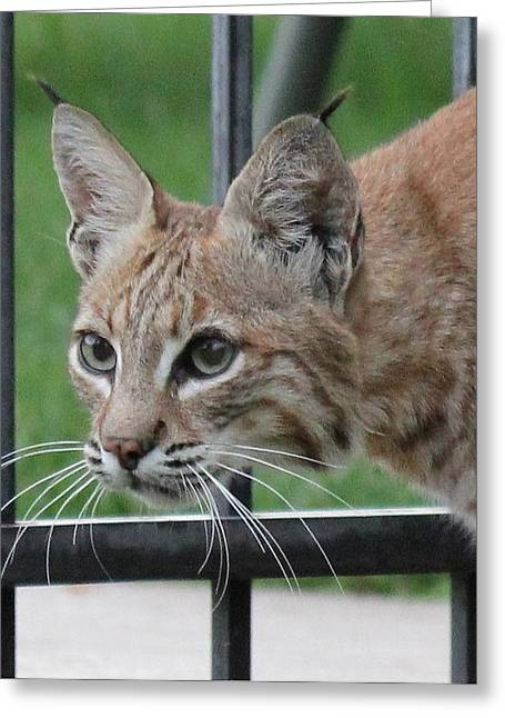 Bobcat Greeting Cards - City Bobcat Greeting Card by Diane Alexander