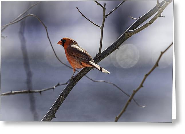 Male Northern Cardinal Greeting Cards - City Lights Greeting Card by Thomas Young