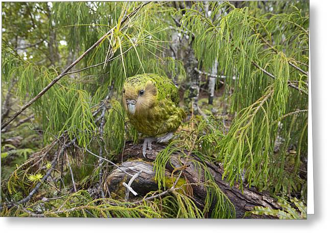Ckakapo Male In Forest Codfish Island Greeting Card by Tui De Roy