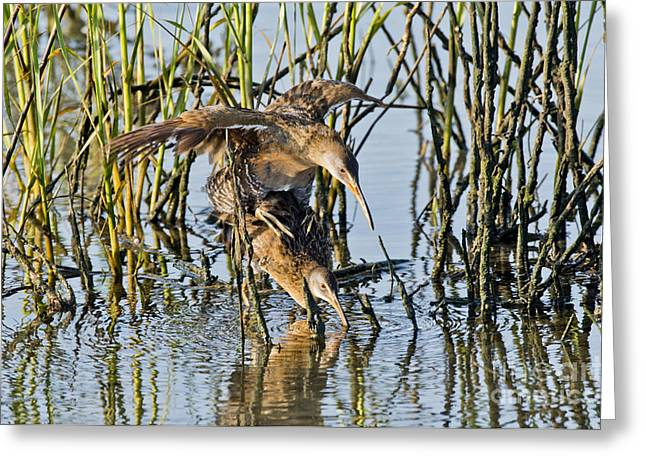 Mounting Greeting Cards - Clapper Rails Mating Greeting Card by Anthony Mercieca