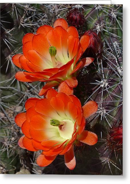 Cactus Southwest Cactus Flower Orange Wildflowers Nature Arizona Greeting Cards - Claret Cup Duet Greeting Card by Cindy McDaniel