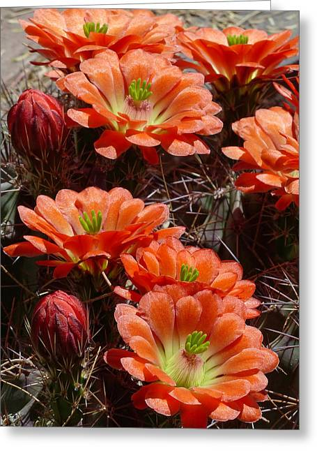 Cactus Southwest Cactus Flower Orange Wildflowers Nature Arizona Greeting Cards - Claret Cup Hedgehog Greeting Card by Cindy McDaniel