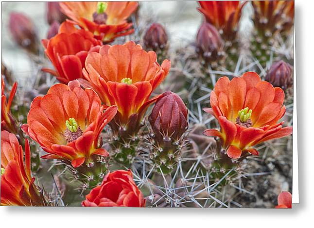 Cavern Greeting Cards - Claret Cups in Bloom Greeting Card by Melany Sarafis