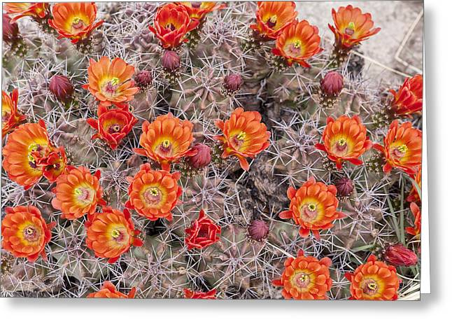 Floral Photos Greeting Cards - Claret Cups in Full Bloom Greeting Card by Melany Sarafis