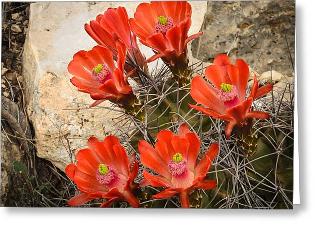 Thomas Pettengill Greeting Cards - Claret Cups Greeting Card by Thomas Pettengill