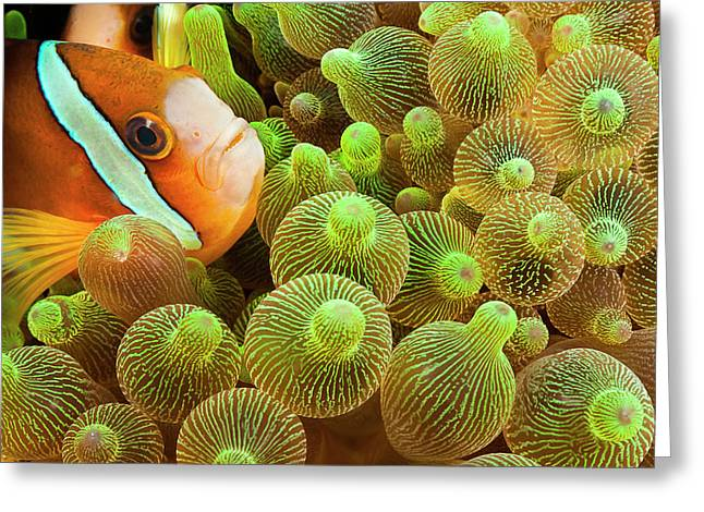 Clark S Anemonefish  Amphiprion Clarkii Greeting Card by Dave Fleetham