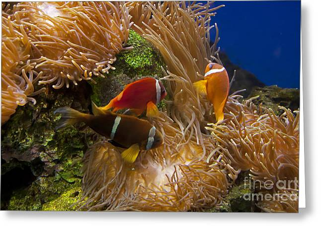 Amphiprion Clarkii Greeting Cards - Clarks Anemonefish and a Tomato Clownfish   #5196 Greeting Card by J L Woody Wooden