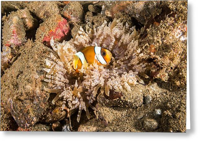 Clarks Anemonefish Greeting Card by Andrew J. Martinez