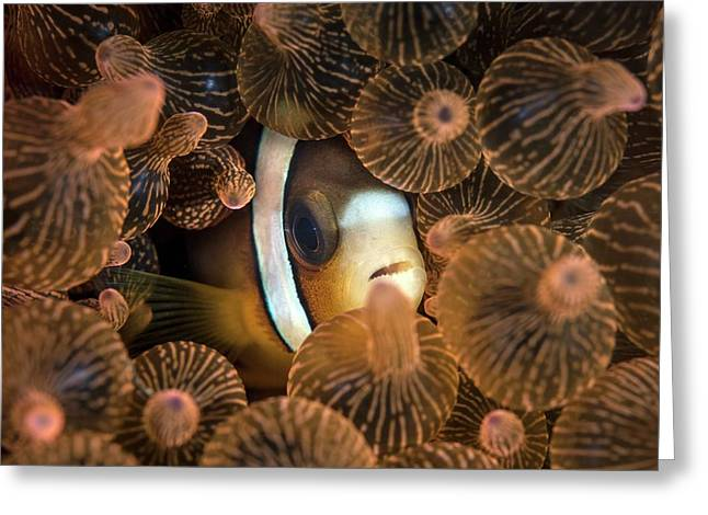 Clark's Anemonefish Greeting Card by Ethan Daniels