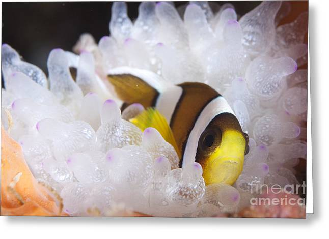 Yellowtail Greeting Cards - Clarks Anemonefish In White Anemone Greeting Card by Steve Jones