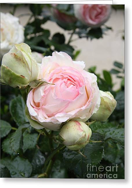 Christiane Schulze Greeting Cards - Classic Rose Greeting Card by Christiane Schulze Art And Photography