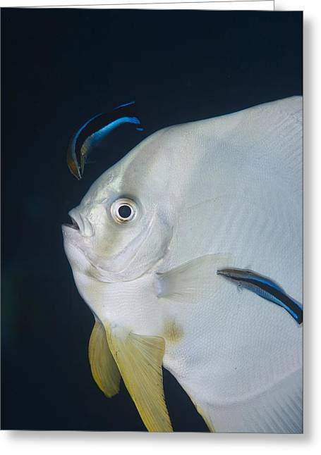 Spadefish Greeting Cards - Cleaner wrasse on batfish Greeting Card by Science Photo Library