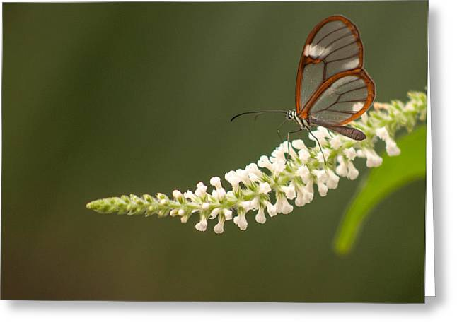 Tam Ryan Greeting Cards - Clear Wing Butterfly Greeting Card by Tam Ryan