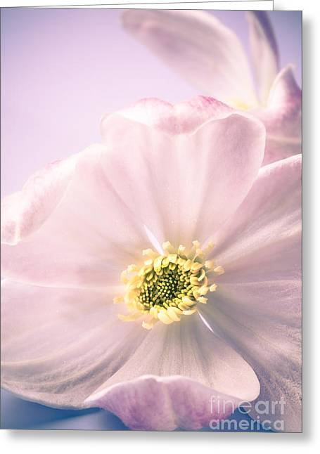 Blue Petals Greeting Cards - Clematis Flowers 4 Greeting Card by Jan Bickerton
