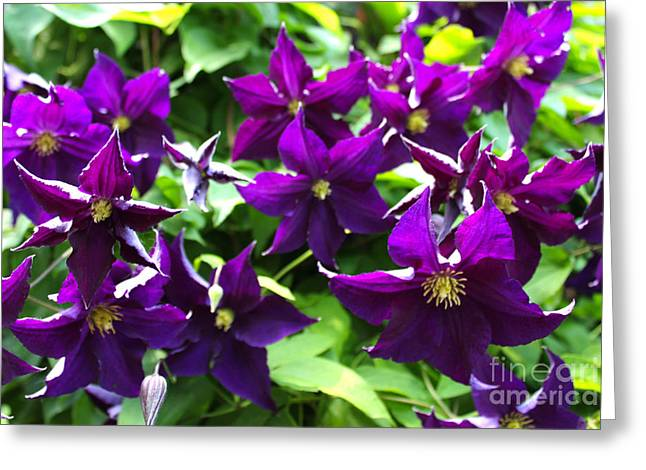 Purples Pyrography Greeting Cards - Clematis Flowers Greeting Card by Corey Ford
