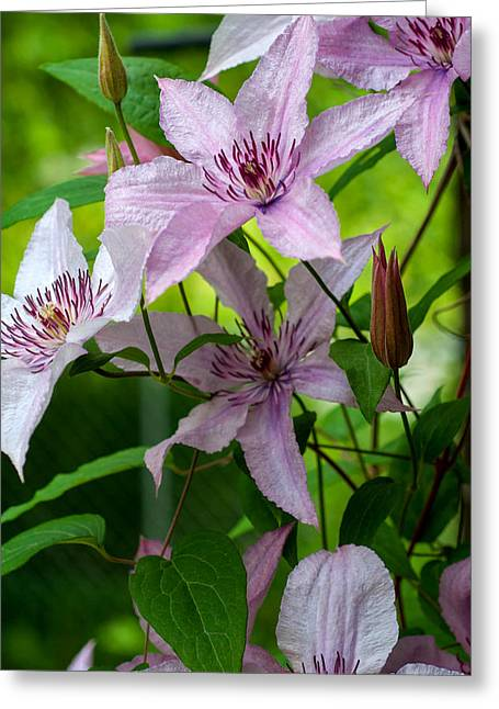 Indiana Flowers Greeting Cards - Clematis Greeting Card by Melissa Wyatt