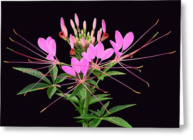 Cleome Flower Greeting Cards - Cleome  Greeting Card by Bijan Pirnia