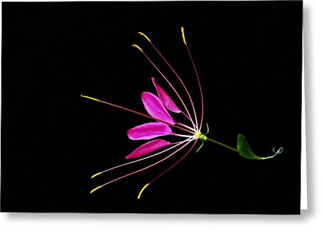 Spider Flower Greeting Cards - Cleome Bloom 1 Greeting Card by Douglas Barnett
