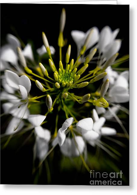 Cleome Flower Greeting Cards - Cleome in Bloom Greeting Card by Venetta Archer