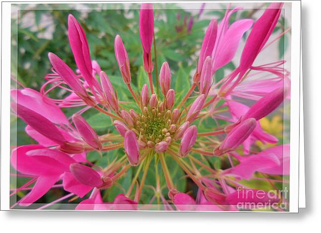 Spider Flower Greeting Cards - Cleome Spider Flower Greeting Card by Antique Images
