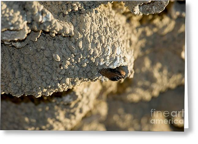 Hirundo Greeting Cards - Cliff Swallow About To Fledge Greeting Card by Anthony Mercieca