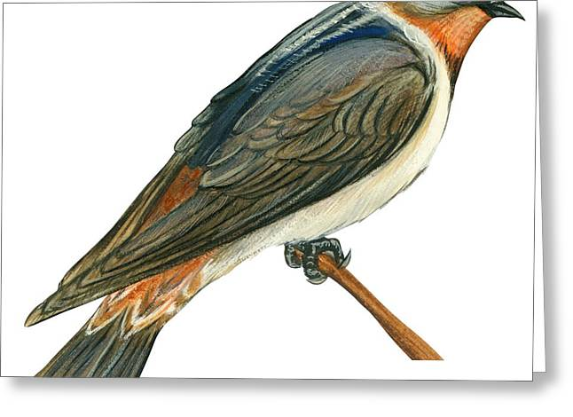Zoology Greeting Cards - Cliff swallow  Greeting Card by Anonymous