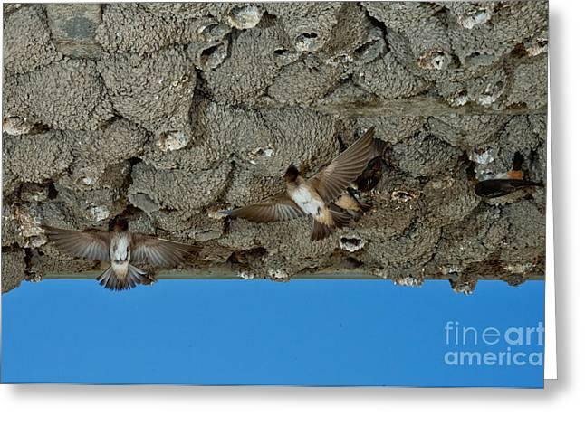 Hirundo Greeting Cards - Cliff Swallows At Nests Greeting Card by Anthony Mercieca