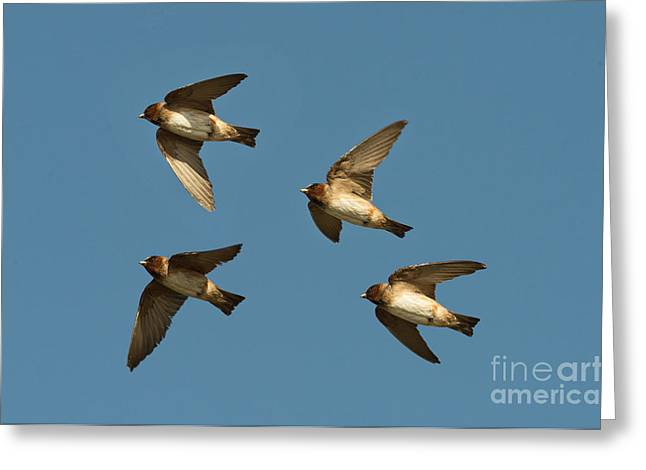 Hirundo Greeting Cards - Cliff Swallows Flying Greeting Card by Anthony Mercieca