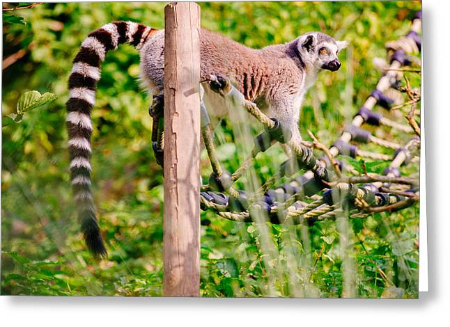 Climbing Lemur Greeting Card by Pati Photography