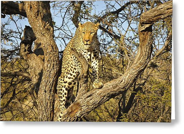 Predacious Greeting Cards - Climbing leopard Greeting Card by Andy-Kim Moeller