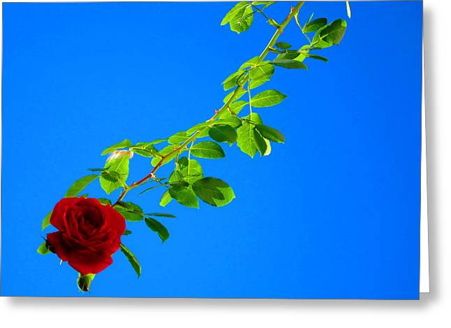 Moving Petals Greeting Cards - Climbing Rose Greeting Card by Andreas Thust