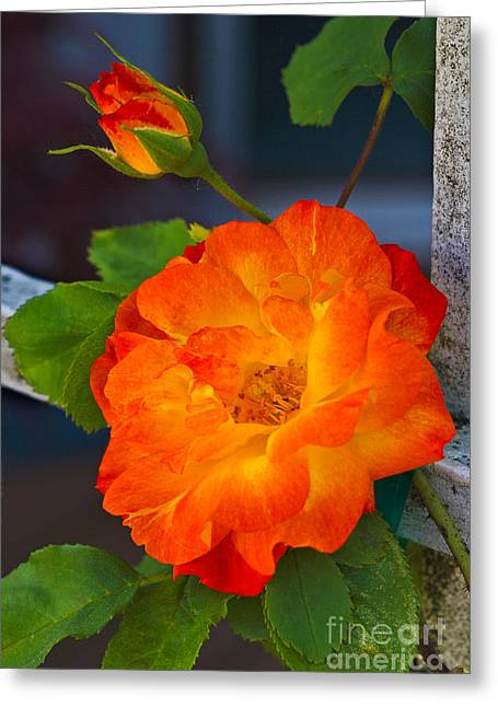 Trellis Greeting Cards - Climbing Rose Greeting Card by Don Hall