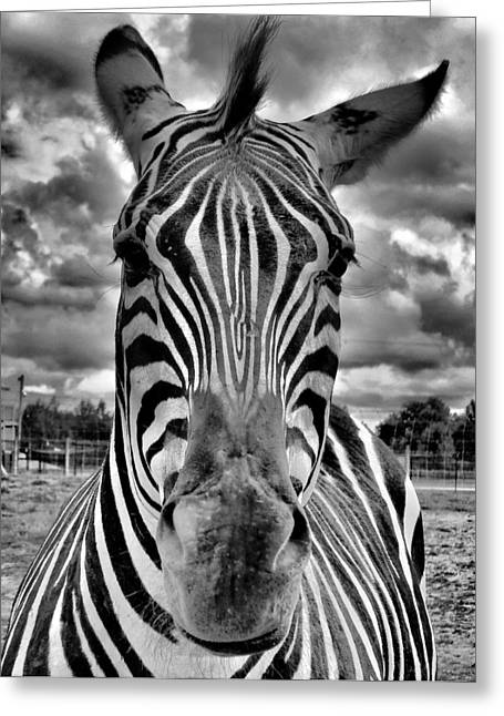 Zebra Grazing Greeting Cards - Close Encounter Greeting Card by Dan Sproul