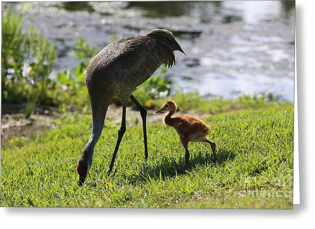 Sandhill Cranes Greeting Cards - Close to Mom Greeting Card by Carol Groenen