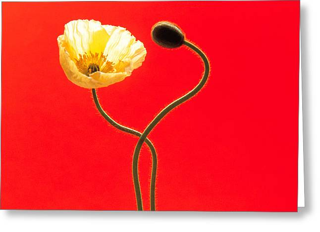 Oriental Poppy Greeting Cards - Close Up Cream Poppy And Seed Pod Greeting Card by Panoramic Images