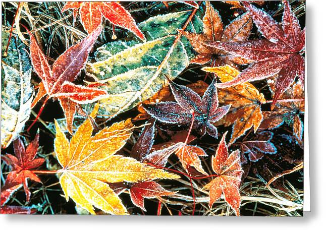 Fall Grass Greeting Cards - Close Up Fallen Maple Leaves Greeting Card by Panoramic Images
