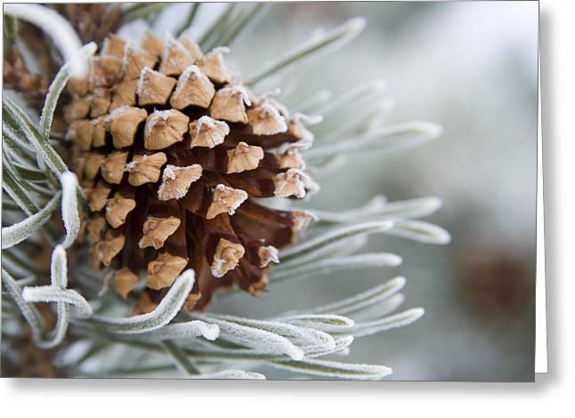 Pine Cones Greeting Cards - Close-up Image Of Frost-covered Pine Greeting Card by Charles Tribbey