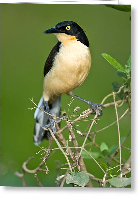 Alertness Greeting Cards - Close-up Of A Black-capped Donacobius Greeting Card by Panoramic Images