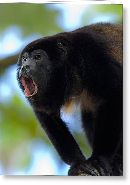 The Amazons Greeting Cards - Close-up Of A Black Howler Monkey Greeting Card by Panoramic Images