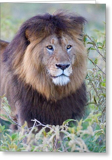 Wildcat Greeting Cards - Close-up Of A Black Maned Lion Greeting Card by Panoramic Images