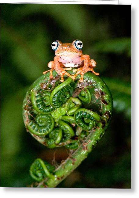 Tree Frog Greeting Cards - Close-up Of A Blue-eyed Tree Frog Greeting Card by Panoramic Images