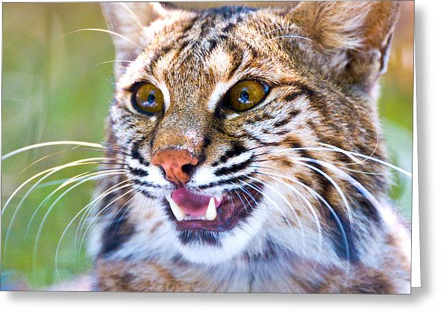 Close-up Of A Bobcat Lynx Rufus Greeting Card by Panoramic Images