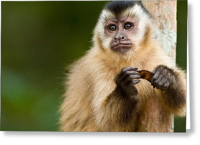 Animal Hair Greeting Cards - Close-up Of A Brown Capuchin Cebus Greeting Card by Panoramic Images