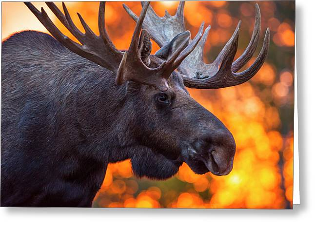 Close Up Of A Bull Moose In Rut In Late Greeting Card by Michael Jones