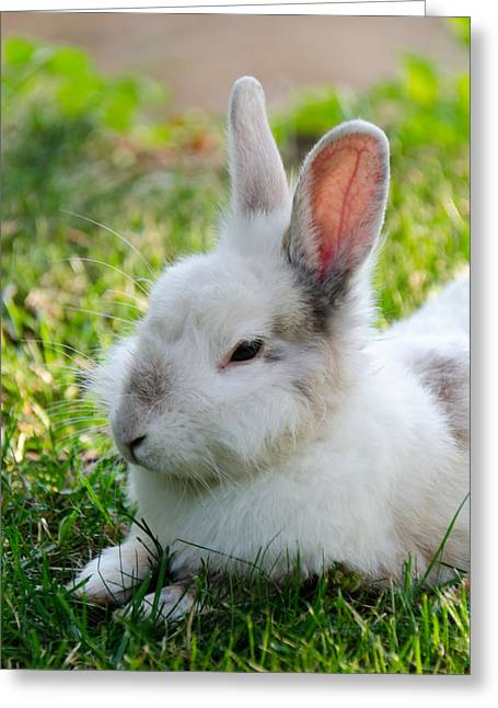Gray Hair Greeting Cards - Close up of a Bunny Greeting Card by Sotiris Filippou