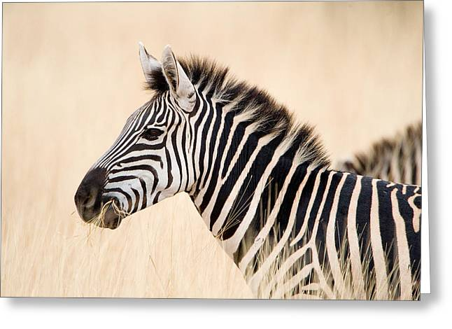 In Common Greeting Cards - Close-up Of A Burchells Zebra Equus Greeting Card by Panoramic Images
