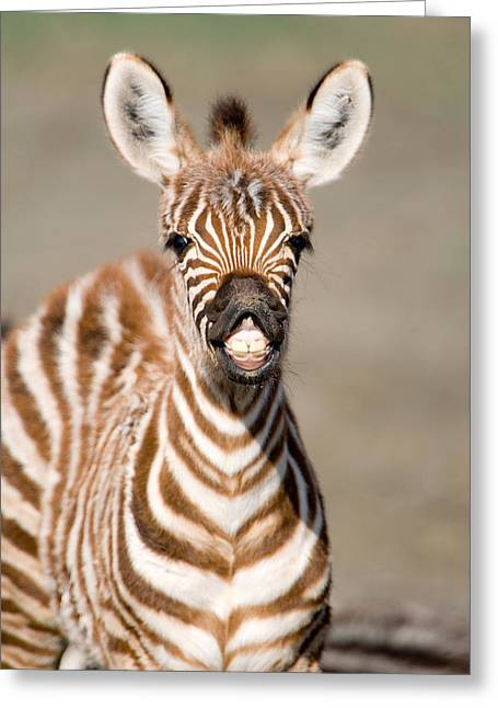 Close-up Of A Burchells Zebra Foal Greeting Card by Panoramic Images